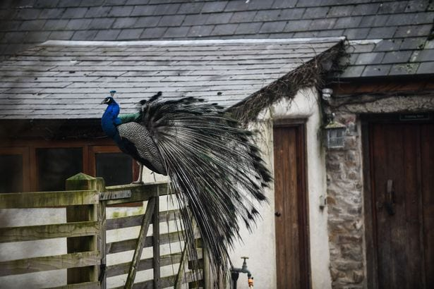 One of the centre's peacocks